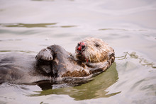 A Sea Otter With A Nose Injury...