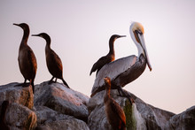 A Brown Pelican Sits Amongst Cormorants At Sunset On A Jetty.