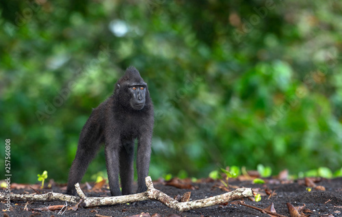 Foto op Aluminium Aap The Celebes crested macaque . Green natural background. Crested black macaque, Sulawesi crested macaque, sulawesi macaque or the black ape. Natural habitat. Sulawesi. Indonesia.