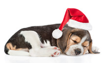 Sleeping Beagle Puppy In Red Christmas Hat Lying In Side View. Isolated On White Background