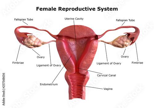 female reproductive system Tapéta, Fotótapéta