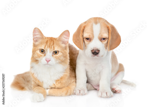 Poster Chien Beagle puppy and red tabby cat looking at camera together. isolated on white background