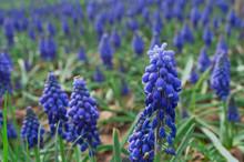 Blue Grape Hyacinths In The Garden