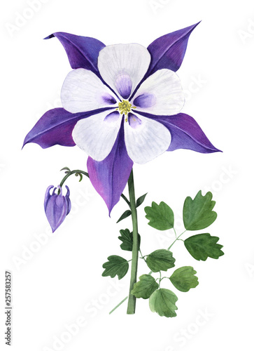 Photo Purple aquilegia with bud and leaves