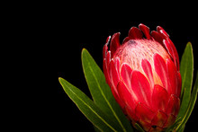 Single Red Protea Flower Isolated On Black Backgound