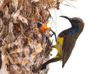 Olive Backed Sunbird,Father Bi...
