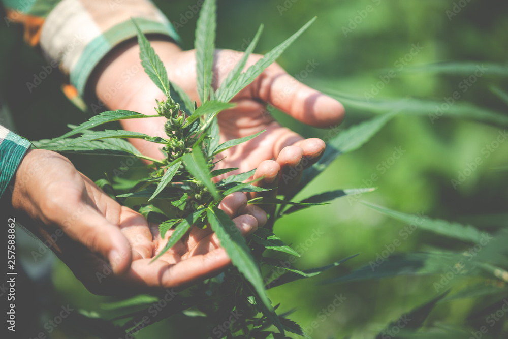 Fotografía Farmer checking cannabis plants in the fields before harvesting.