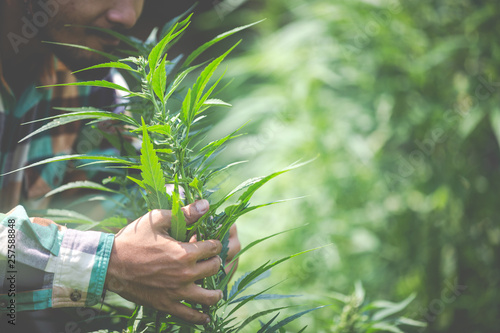 Fotomural Farmer checking cannabis plants in the fields before harvesting.