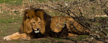 Lazy Lion In A Zoo