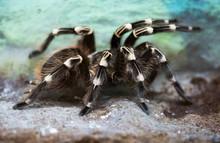 Whitebanded Tarantula. Lives I...