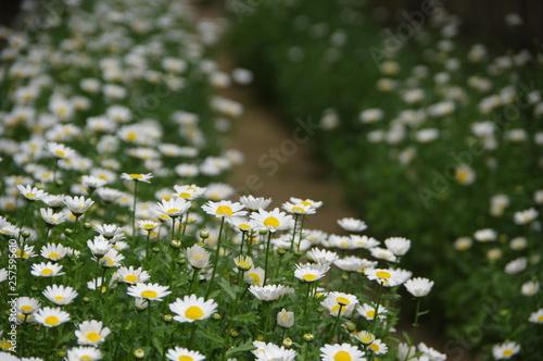 Fotografie, Obraz  ノースポールの咲く小道