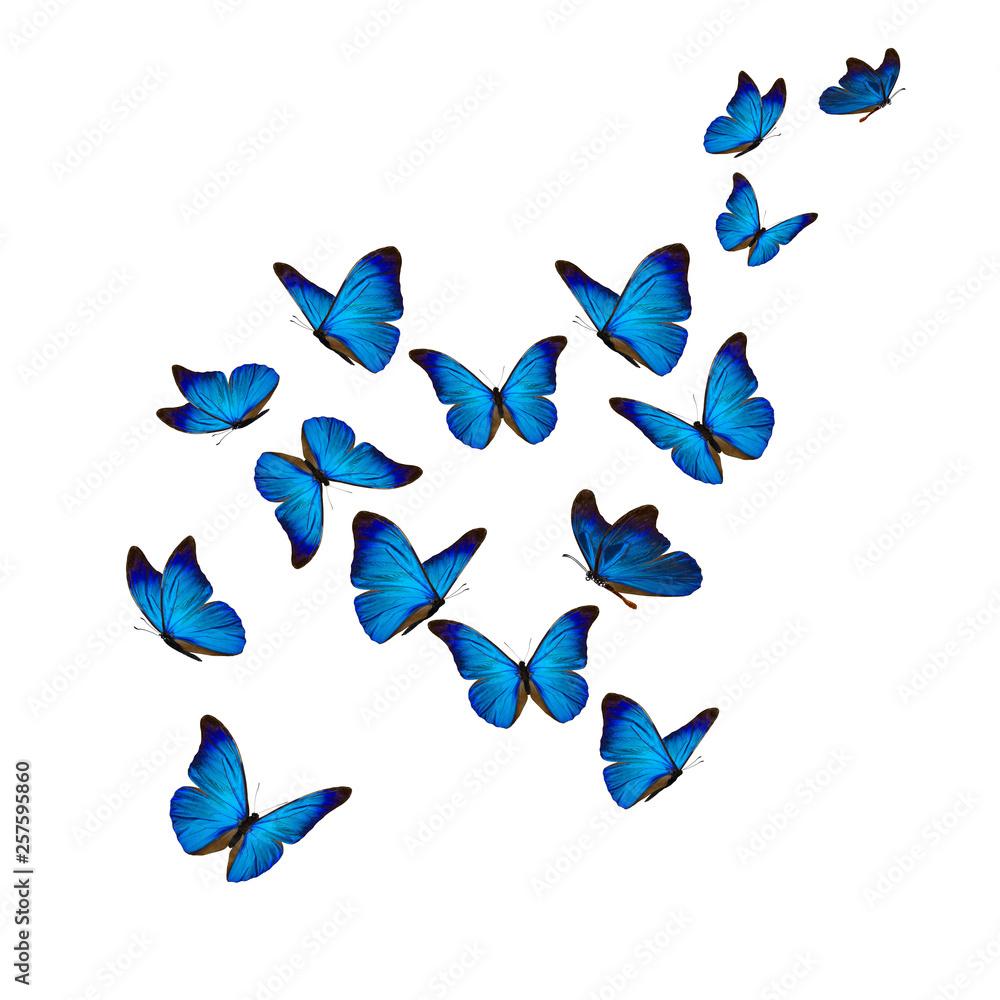 Fototapeta Beautiful blue morpho butterfly
