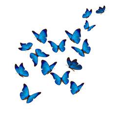 Prekrasan plavi morfo leptir