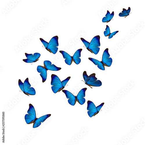 Fotografie, Obraz Beautiful blue morpho butterfly