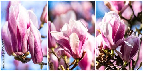 Fotografia Magnolien Blüten Triptychon