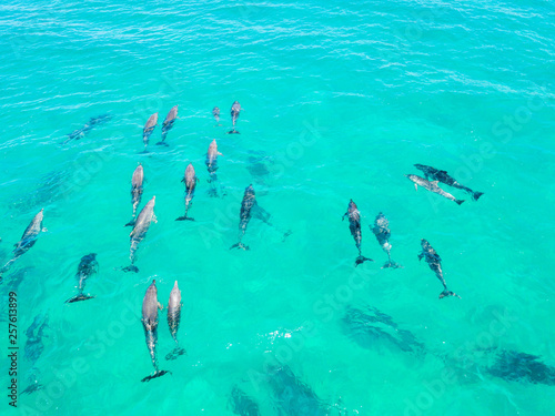 Foto auf Leinwand Reef grun A large pod of dolphins in blue water in Byron Bay, Australia