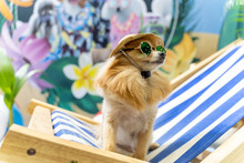 Chihuahua Dog Wearing Hats And Sunglasses In The Beach Chair. Summer Holidays Concept.