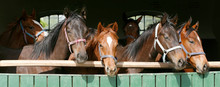 Thoroughbred Young Horses Looking Over Wooden Barn Door In Stable At Ranch On Sunny Summer Day