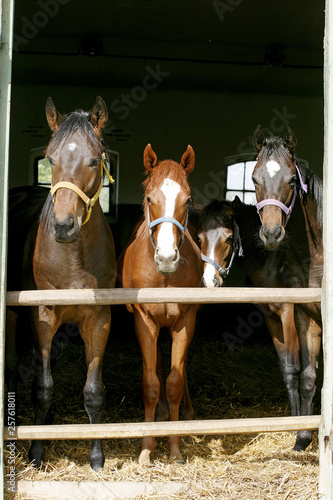 Foto op Canvas Paarden Thoroughbred young horses looking over wooden barn door in stable at ranch on sunny summer day