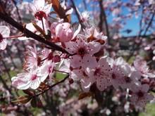 PLUM OPEN FLOWERS - ERİK DALI 2