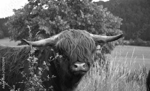 Fototapety, obrazy: schottisches hochlandrind auf grünem Feld