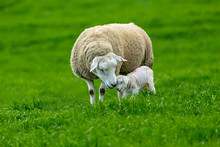 Lambing Time, Texel Ewe With Newborn Lamb. A Tender Moment Depicting A Mother's Love For Her Newborn Baby.  Horizontal, Landscape, Space For Copy