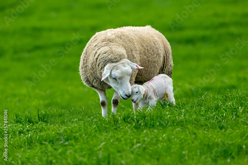Deurstickers Schapen Lambing time, Texel Ewe with newborn lamb. A tender moment depicting a mother's love for her newborn baby. Horizontal, landscape, space for copy