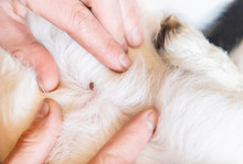 Tick On Animal Skin Close Up. Selective Focus.