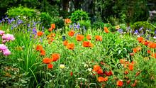 Summer Flower Garden With Red Poppy Flowers