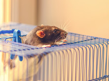 One Fancy Rat (Rattus Norvegicus) Is Looking Out Of Its Open Metal Cage In Indoors.