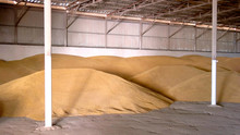 Grain In A Hangar. Piles Of Yellow Grains. Storing Wheat At The Farm. Keep Cereals Away From Moisture.