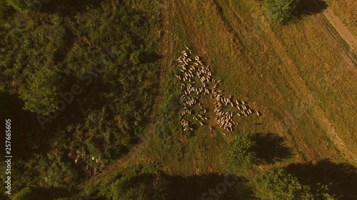 Photo Aerial view of sheep flock