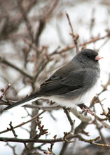 Dark Eyed Junco On Branch In W...