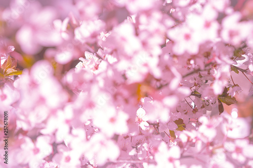 Photo Stands Spring Blooming tree with white, pink flowers in morning sunshine and shadow, blurred sunlight. Soft focus. Spring blossom flower background. Easter sunny day.