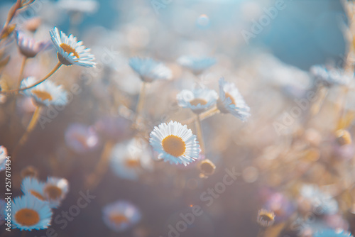 Fototapety, obrazy: Wild grass flowers in the morning at sunrise with golden sunshine.