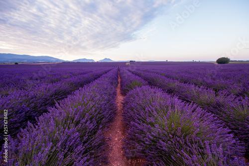 Fototapeta lavender field france obraz na płótnie