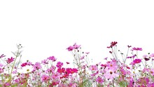 Cosmos Flower And Green Stalk At Field, Isolated On White Background.