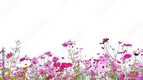 Cosmos flower and green stalk at field, isolated on white background. - 257689672