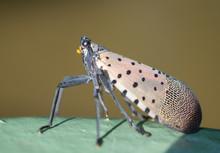 Spotted Lanternfly (Lycorma Delicatula), Berks County, Pennsylvania
