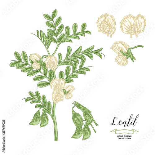 Plakaty botaniczne   plakat-na-wymiar-lentil-plant-isolated-on-white-background-lentil-branch-with-flowers-and