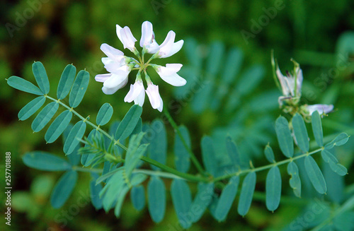Astragalus with white flowers Wallpaper Mural