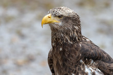 Young Bald Eagle Portrait Sitt...