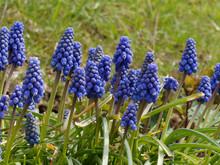 Muscari Neglectum - Muscari à Grappe Aux Fleurs De Couleur Bleu Violet