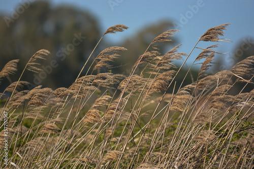 Valokuva canneto mosso dal vento nella palude