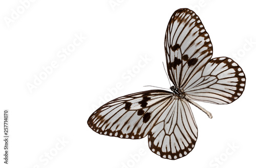 Fotografie, Obraz  Butterfly idea leuconoe isolated on white background
