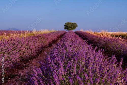 Tuinposter Crimson lonely tree at lavender field