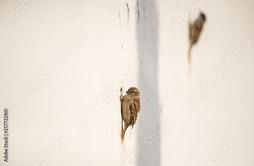 Valokuva  Pardais com ninho no muro