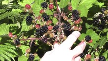 Picking Blackberries Zoom Out