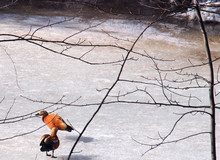 A Pair Of Ducks Walking On The Ice Of A Frozen Pond.