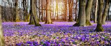 Amazing Panoramic Spring Landscape With Carpet Of Violet Flowers -Crocus Heuffelianus - In Carpathian Forest